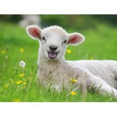 Ліпаза овеча